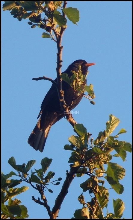 blackbird mmuziek